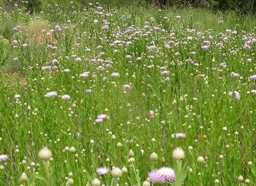 American Basketflowers dans le Palo Duro Canyon au Texas lors d'un voyage en Amerique en famille