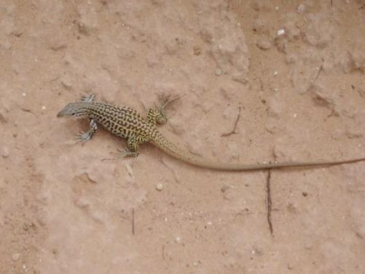 De beaux lézards peuvent être vus sur le chemin dans le Palo Duro Canyon au Texas pendant un voyage aux USA en famille