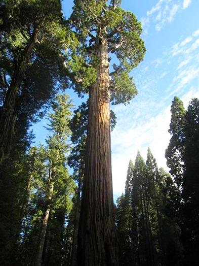 Le General Grant à sequoia national park californie voyage aux usa en famille