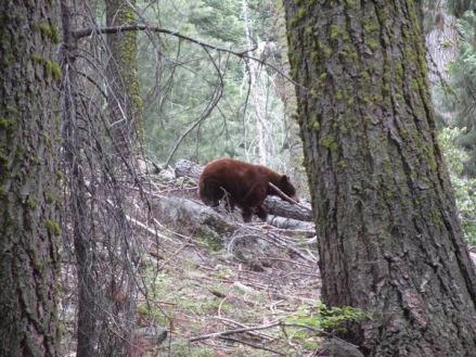 Une maman ours à sequoia national park en californie aux USA vu au cours d'un voyage en Amérique en famille