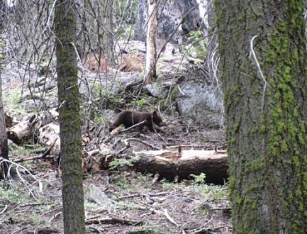 Un ourson à sequoia national park en californie aux USA vu au cours d'un voyage en Amérique en famille