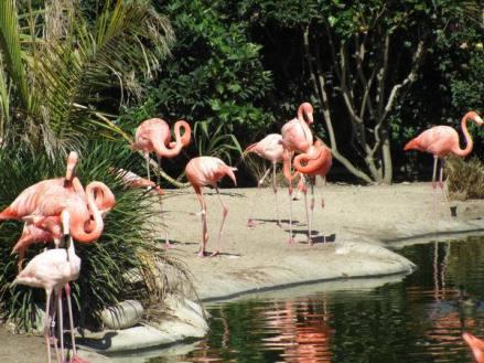 Flamands roses au Zoo de San Diego en californie en amérique à découvrir pendant un voyage aux USA en famille