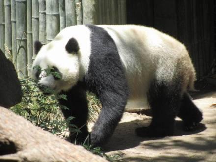 Un panda du Zoo de San Diego en californie en amérique à découvrir pendant un voyage aux USA en famille