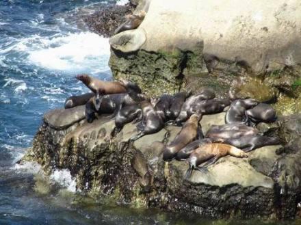 Lions de mer à La Jolla à san diego en californie aux etats-unis à voir pendant un voyage aux usa en famille en vacances